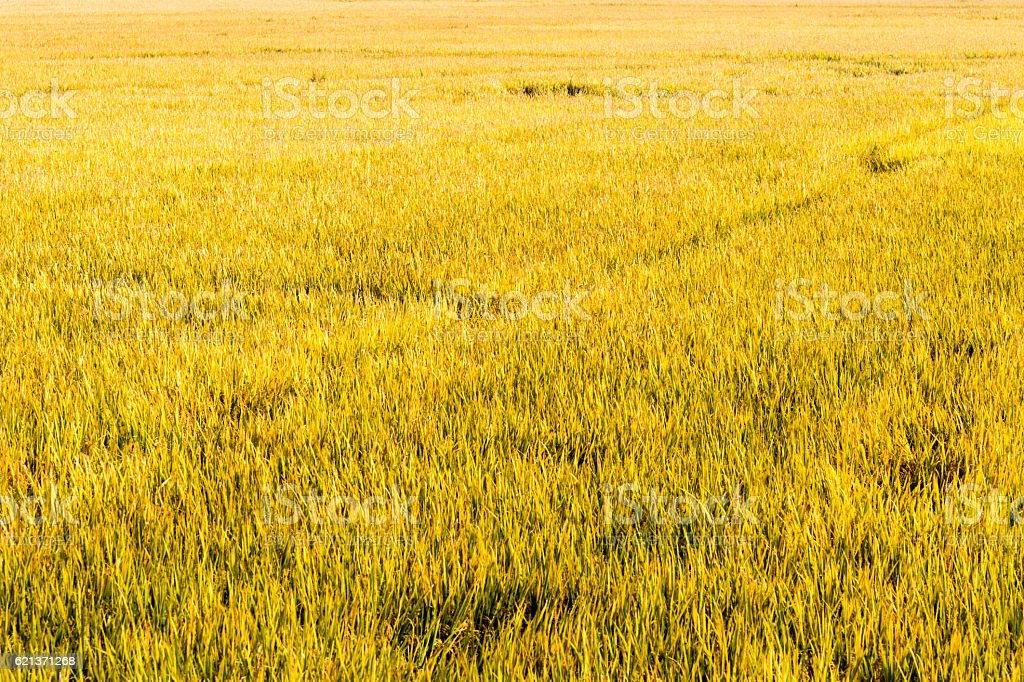 Mature rice autumn bird's-eye Perspective stock photo