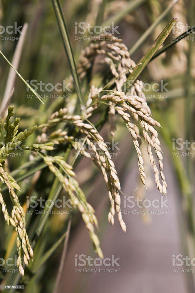 Mature Rice Panicles in Field stock photo