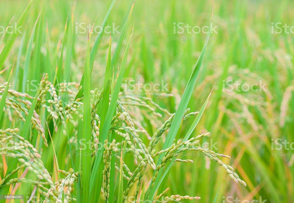 Mature Rice stock photo