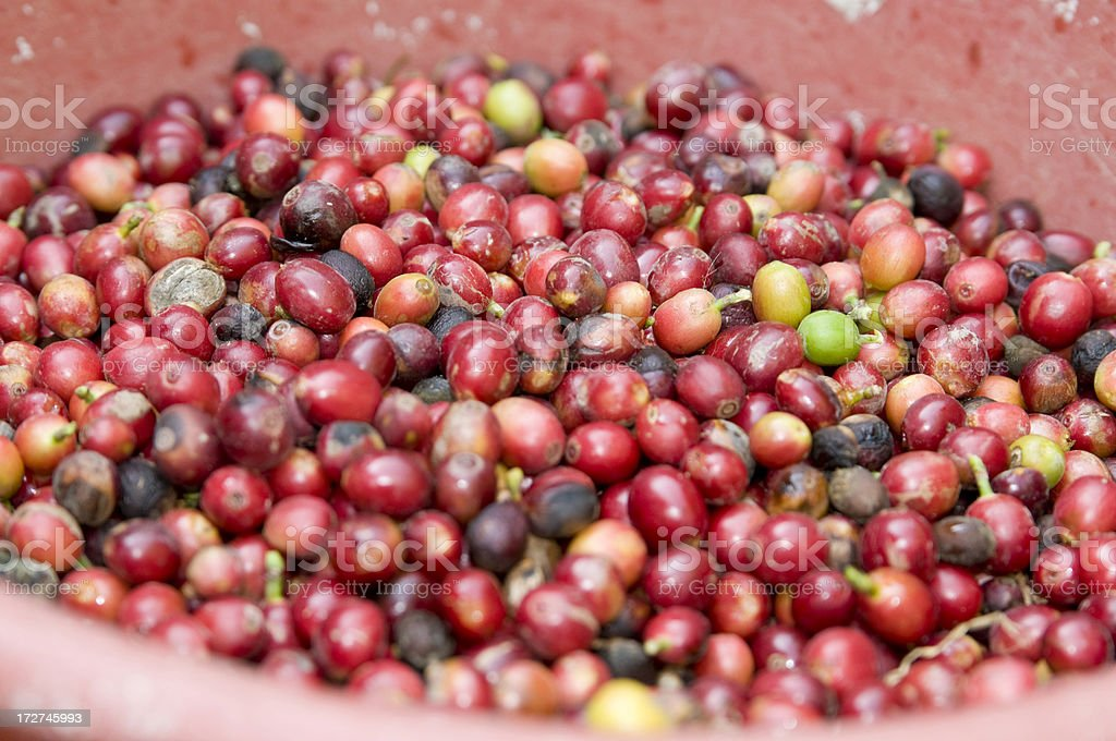 Mature Ripe Coffee Bean Fruit royalty-free stock photo