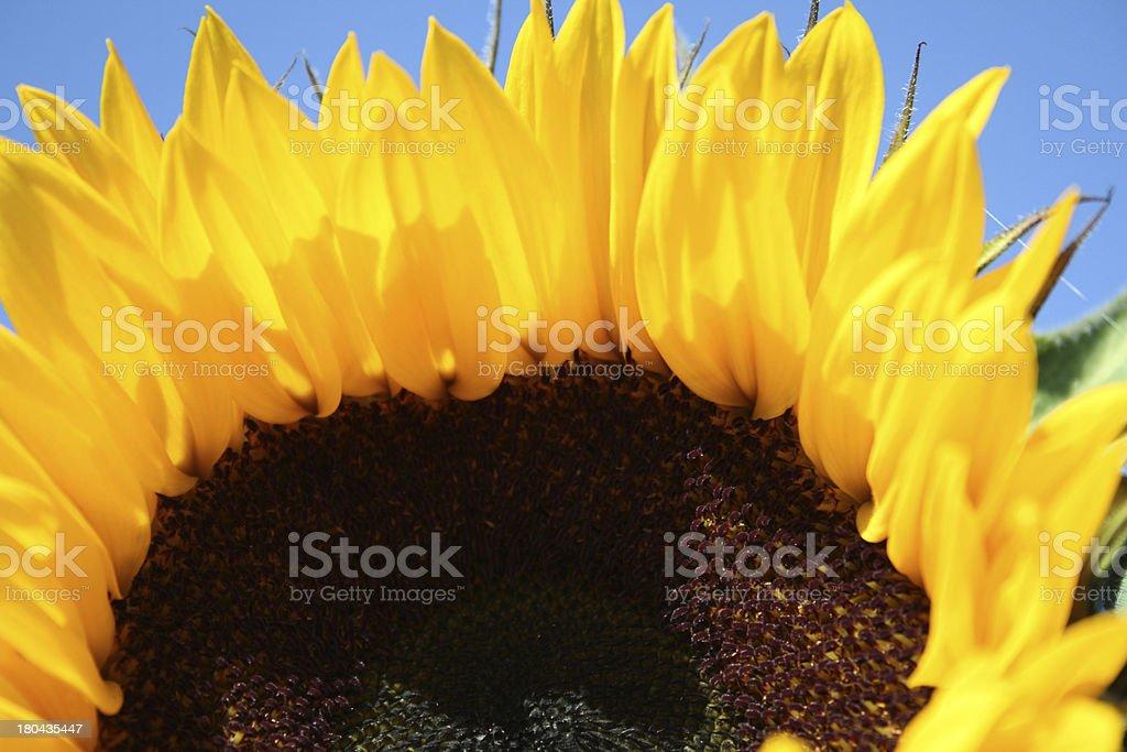 mature sunflower royalty-free stock photo