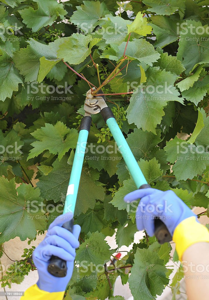 Mature unrecognizable gardener pruning grapevine with scissors in vineyard royalty-free stock photo