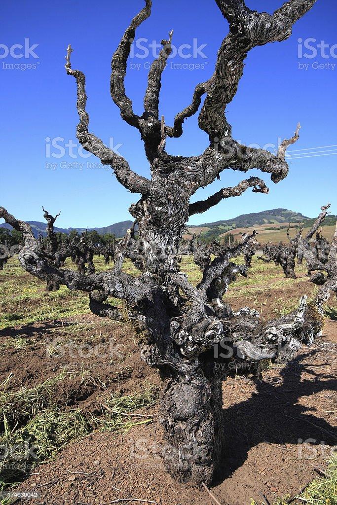Mature Vine royalty-free stock photo