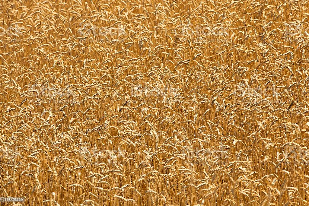 mature wheat royalty-free stock photo