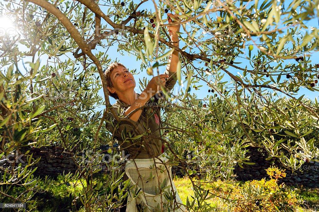 Mature Woman Harvesting Olives in Brac, Croatia, Europe stock photo