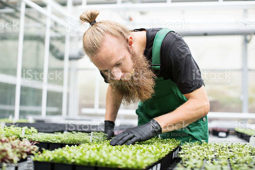 Mature worker examining seedlings in greenhouse stock photo