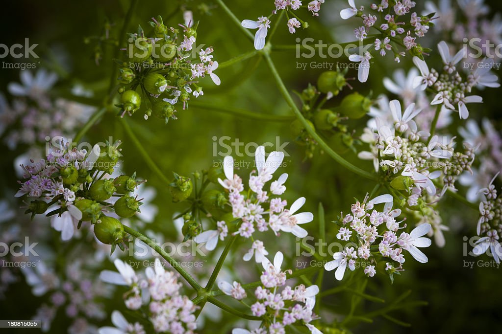 Matured Coriander Herb Blossom and Seeds in Kitchen Garden royalty-free stock photo