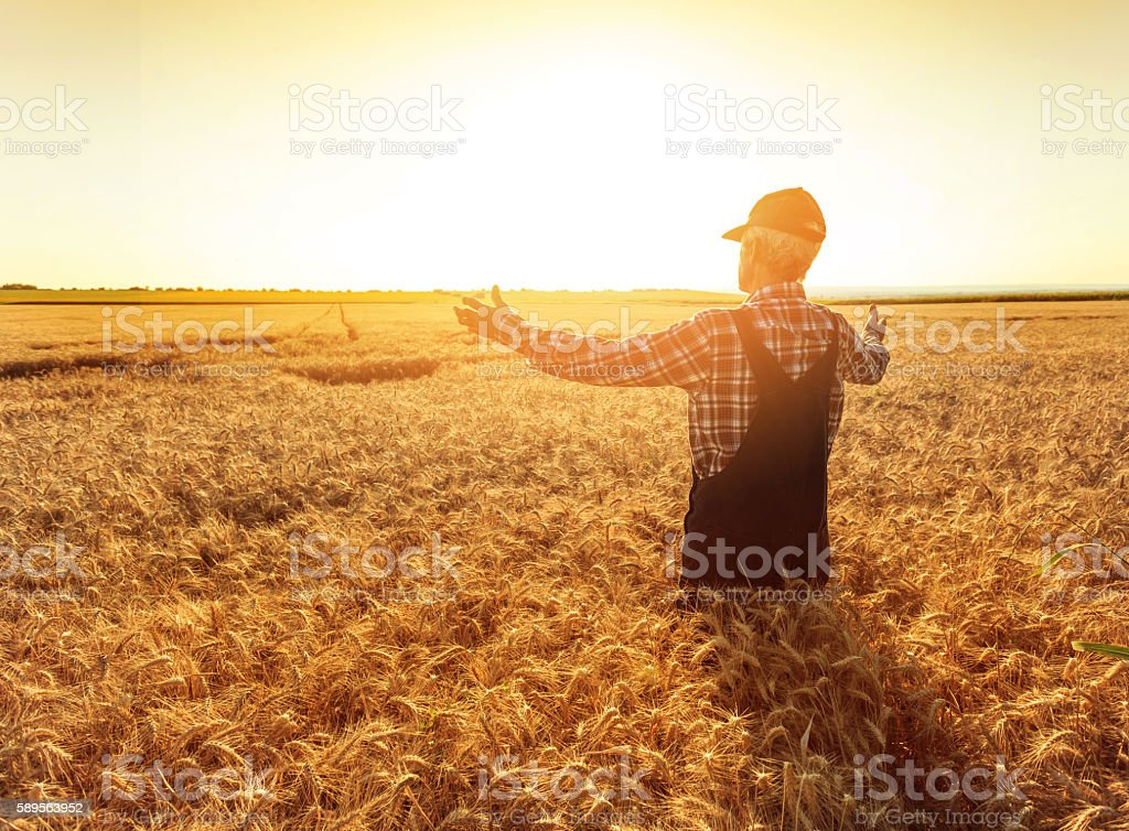 Matured farmer standing in the middle of his wheat field stock photo