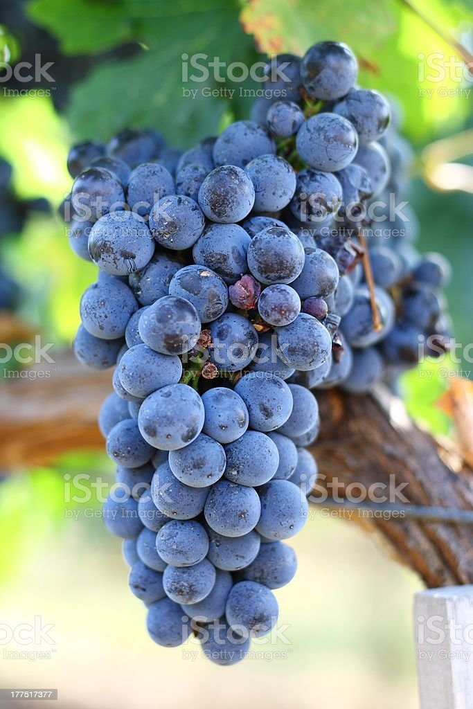 Matured grapes for good red wine stock photo