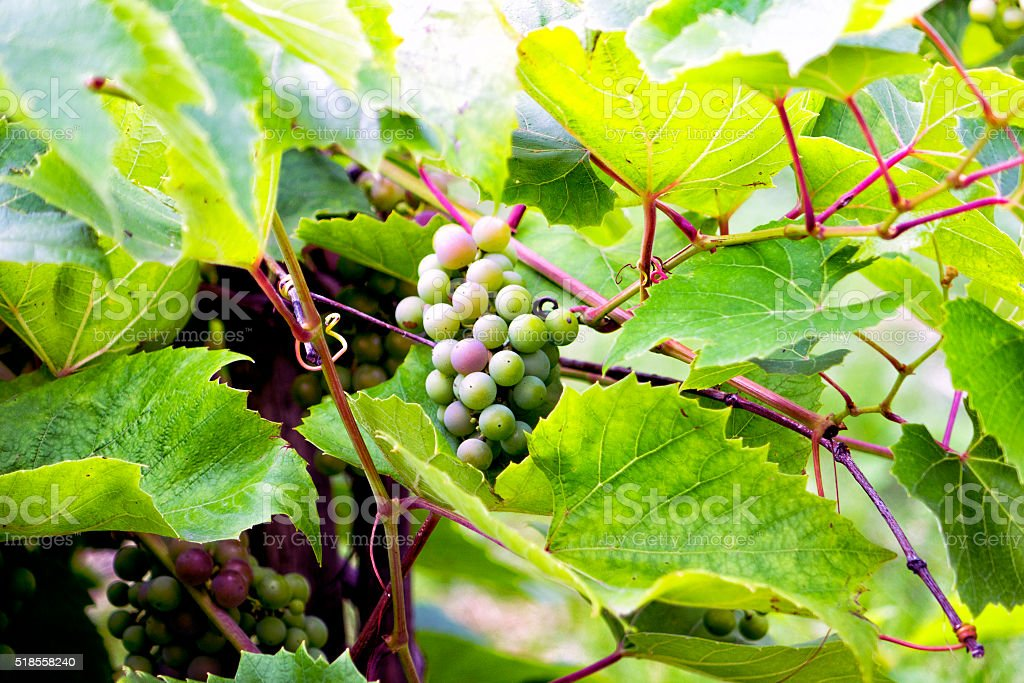 Matures new grape harvest. Natural background. stock photo