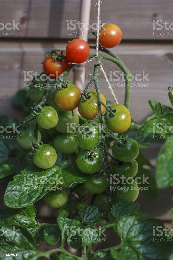 maturing tomatoes royalty-free stock photo