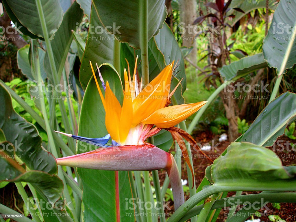 Maui Hawaii Bird of paradise flower in Resort hotel garden royalty-free stock photo