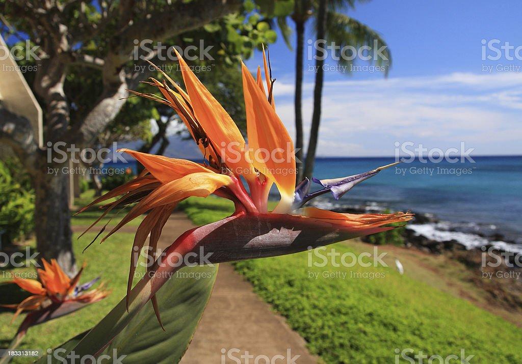 Maui Hawaii Bird of paradise flowers on the beach royalty-free stock photo