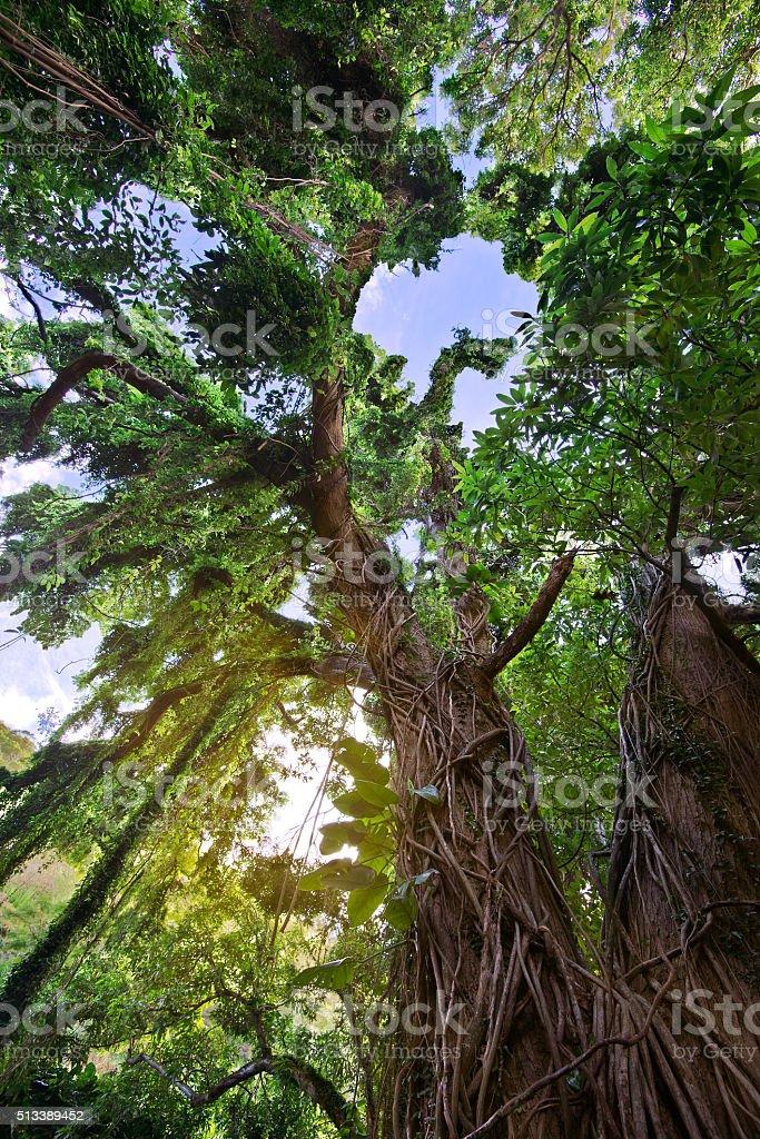 Maui Jungle stock photo