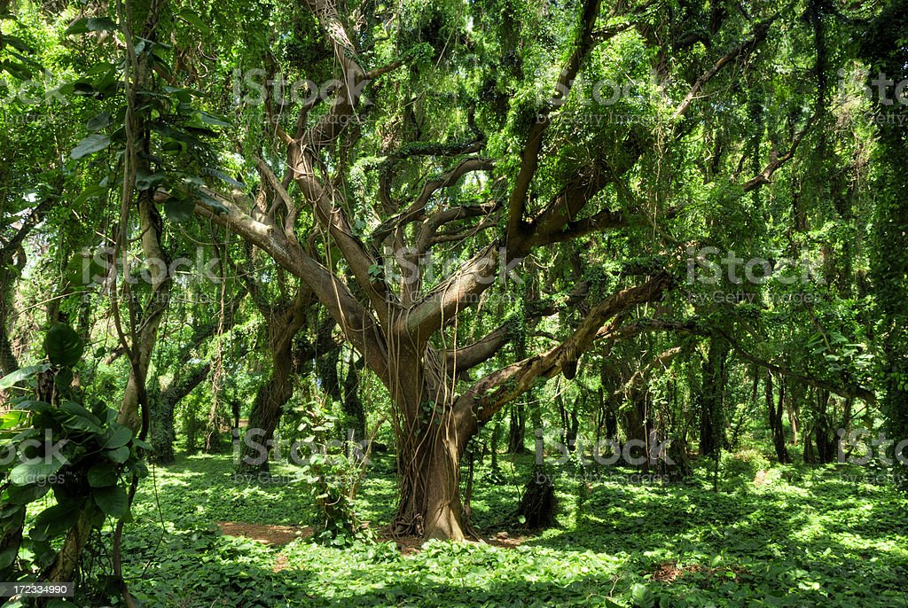 Maui Tropical Forest royalty-free stock photo