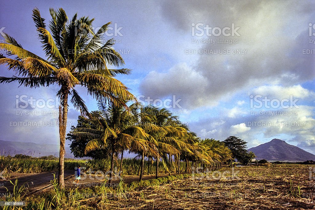 Mauritius, Black River Province, harvested sugar cane field. stock photo