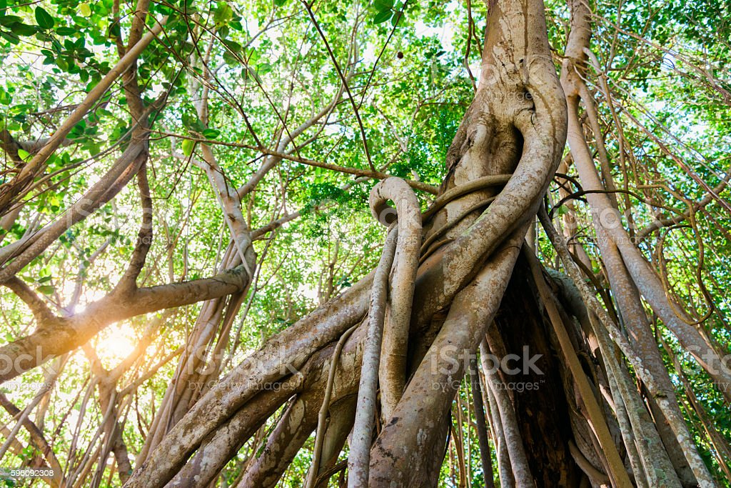 Mauritius Island Liana Jungle Forest Tropical Rainforest stock photo