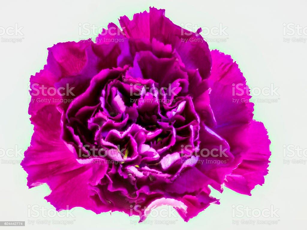 Mauve Carnation stock photo