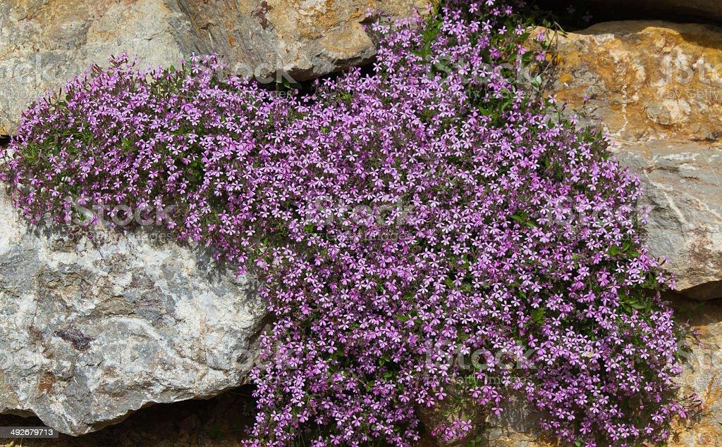 Mauve flowers Saponaria ocymoides - Flores malvas stock photo