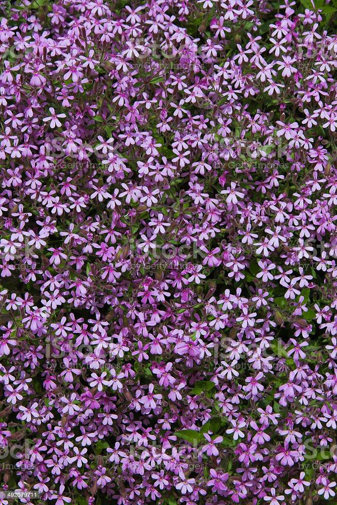 Mauve flowers Saponaria ocymoides - Flores malvas Saponaria ocym stock photo