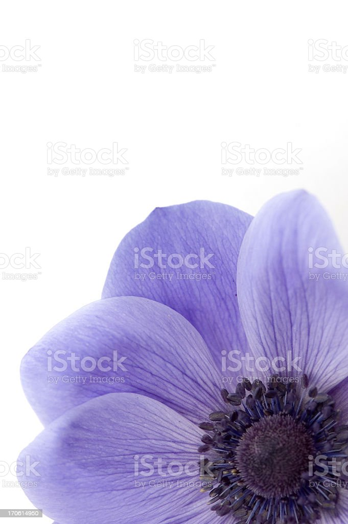 Mauve Poppy royalty-free stock photo