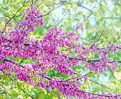 Mauve, purple Cercis siliquastrum tree flowers