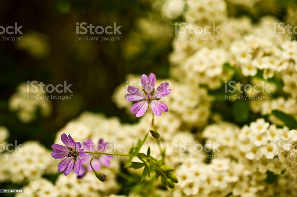 Malva sylvestris stock photo