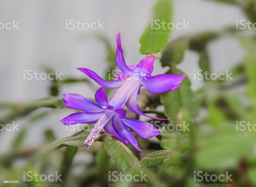 Mauve, violet Schlumbergera truncata flower, Christmas cactus stock photo