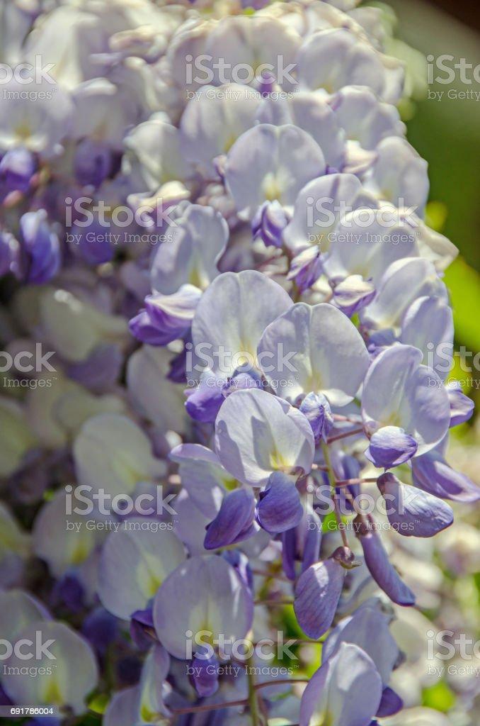 Mauve violet Wisteria bush climbing flowers, outdoor close up, Fabaceae family stock photo