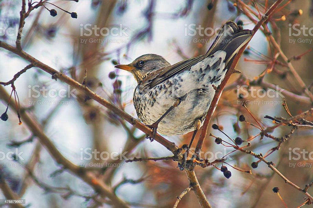 Mavis eats fruits of   fruit tree. stock photo