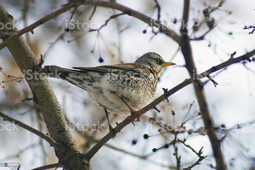 Mavis eats fruits of wild   tree. stock photo