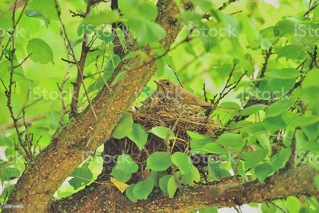 Mavis with chicks in the nest stock photo