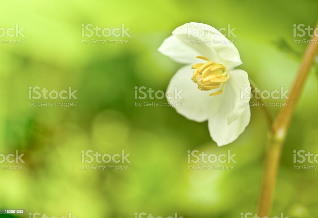 May Apple Wild Flower Macro with Shallow Depth of Focus stock photo
