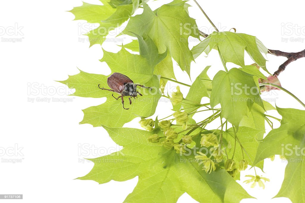 May beetle on young maple leaves royalty-free stock photo
