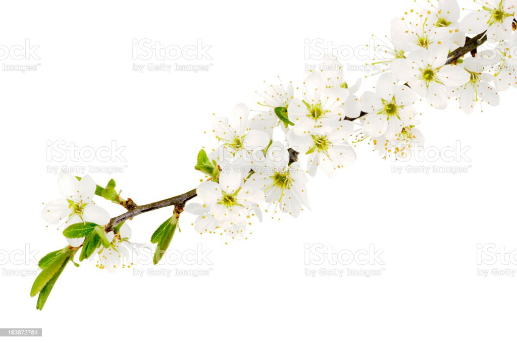 May Blossom From The Hawthorn Bush Isolated On White stock photo