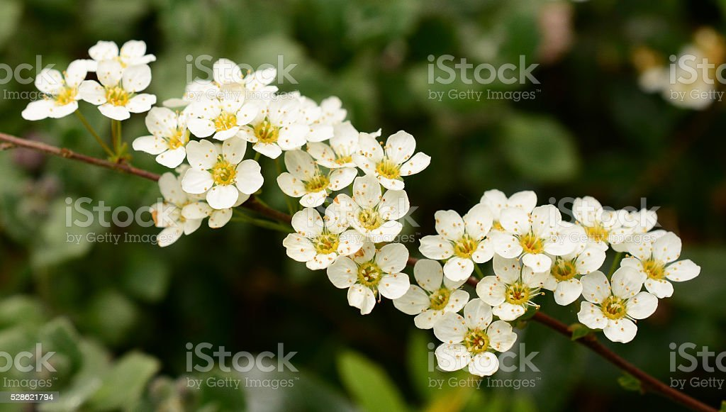 May blossom stock photo