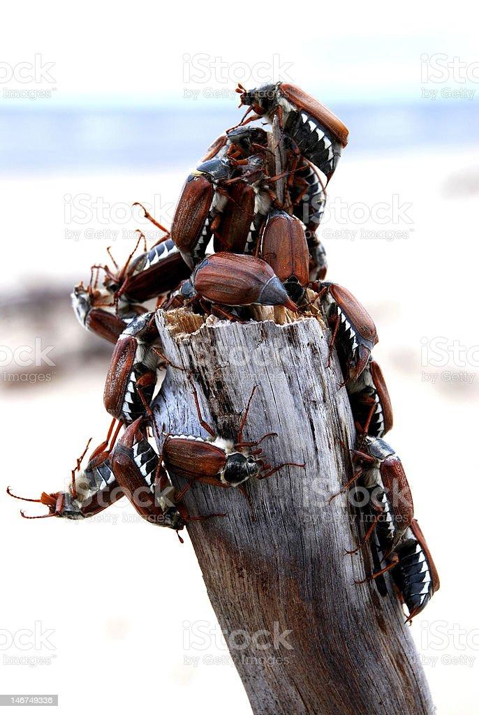 May bugs royalty-free stock photo