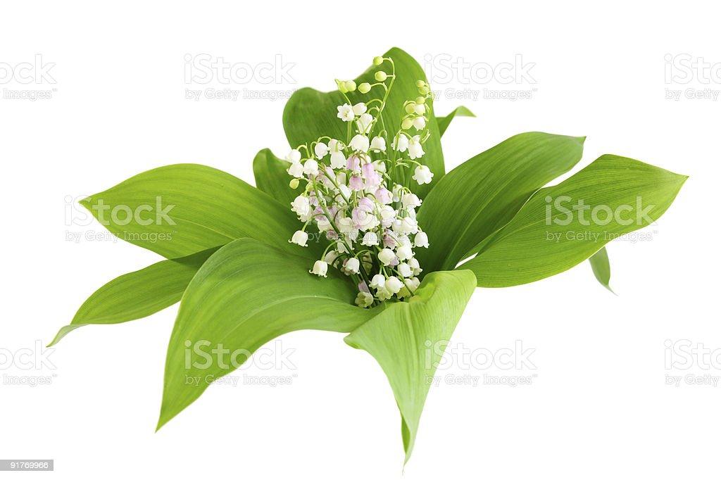 May Lily royalty-free stock photo