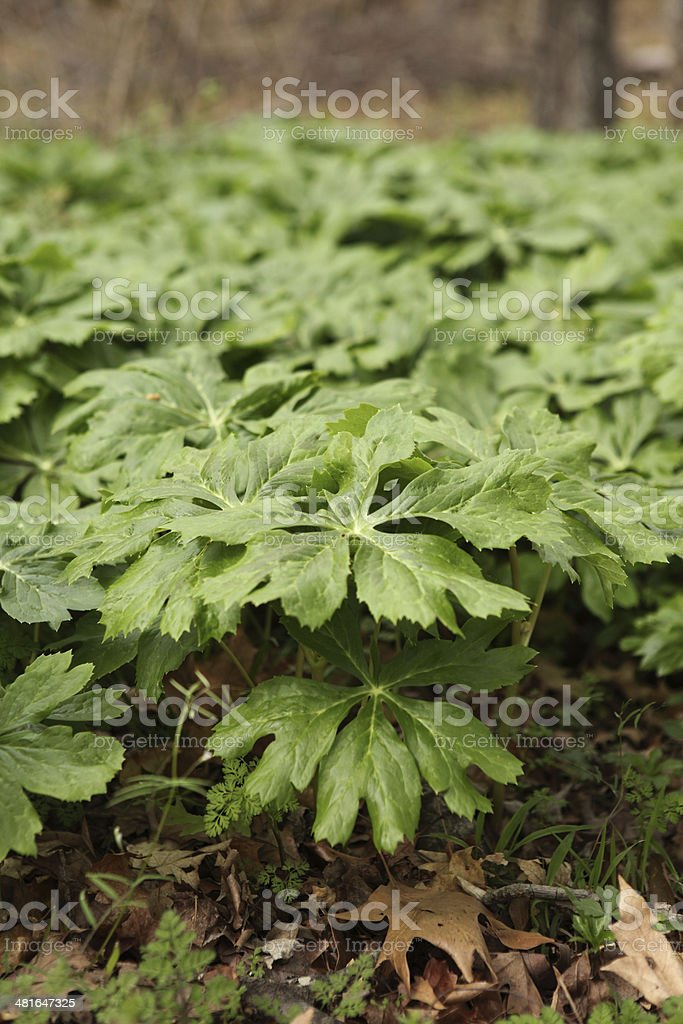 Mayapple stock photo