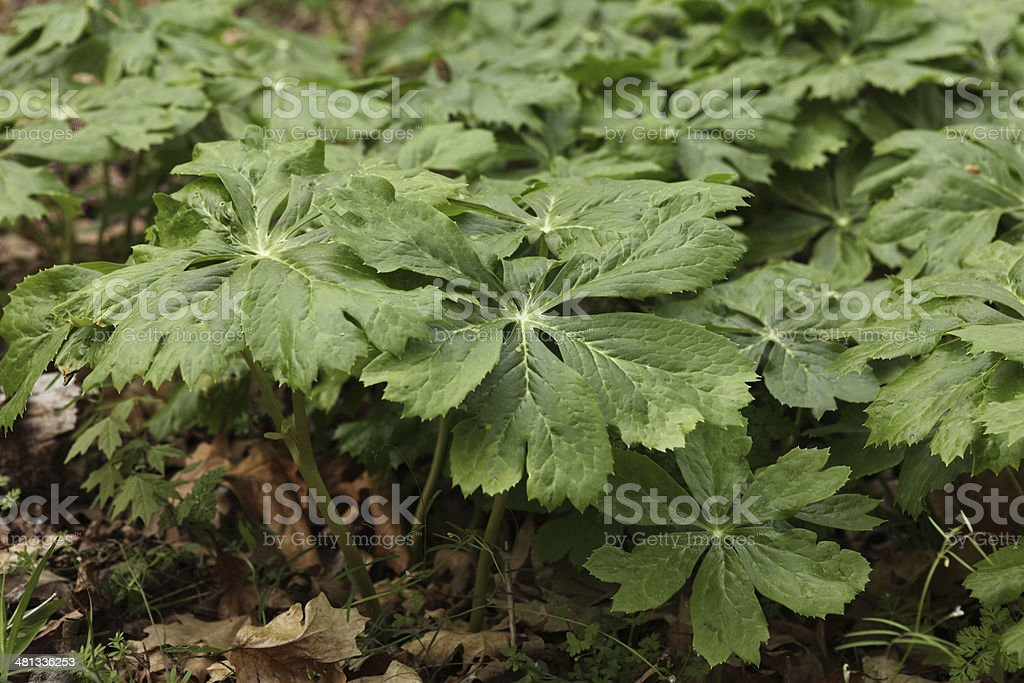 Mayapple Plants stock photo