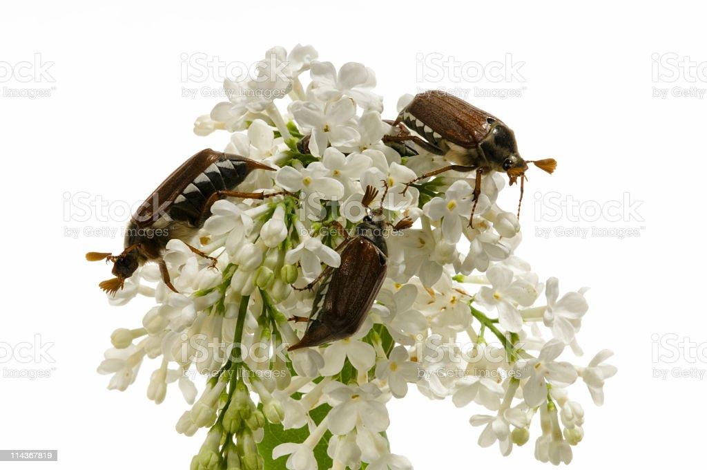 Maybug beetle stock photo