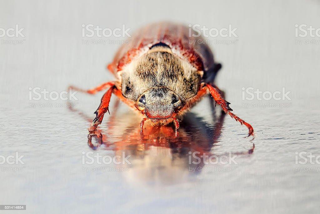 may-bug crawling on the shiny mirror surface stock photo