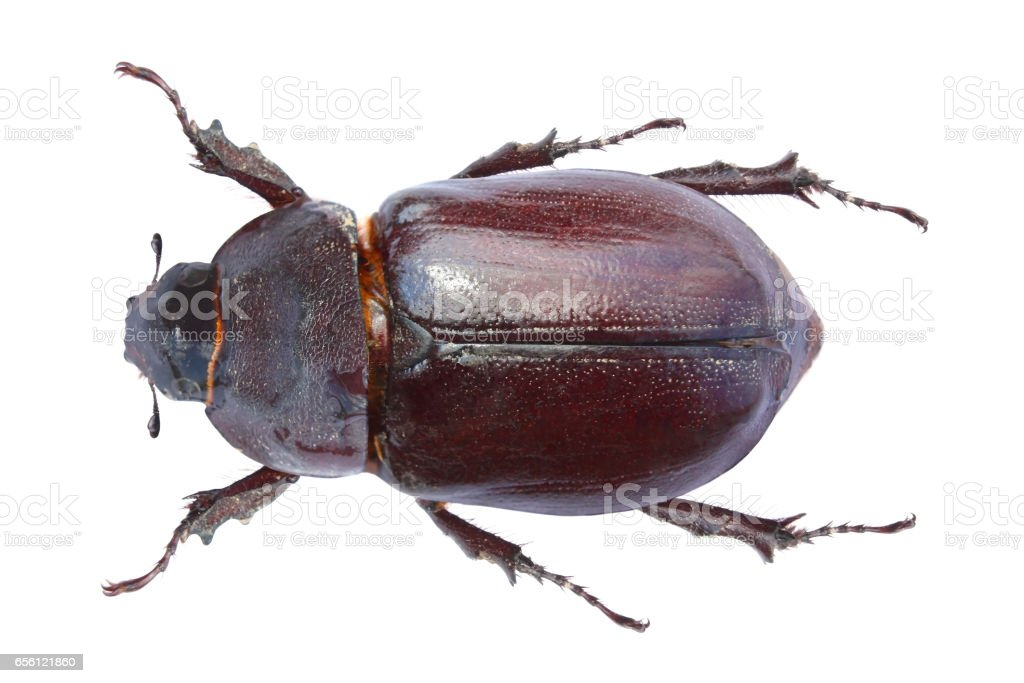 May-bug isolated on white stock photo