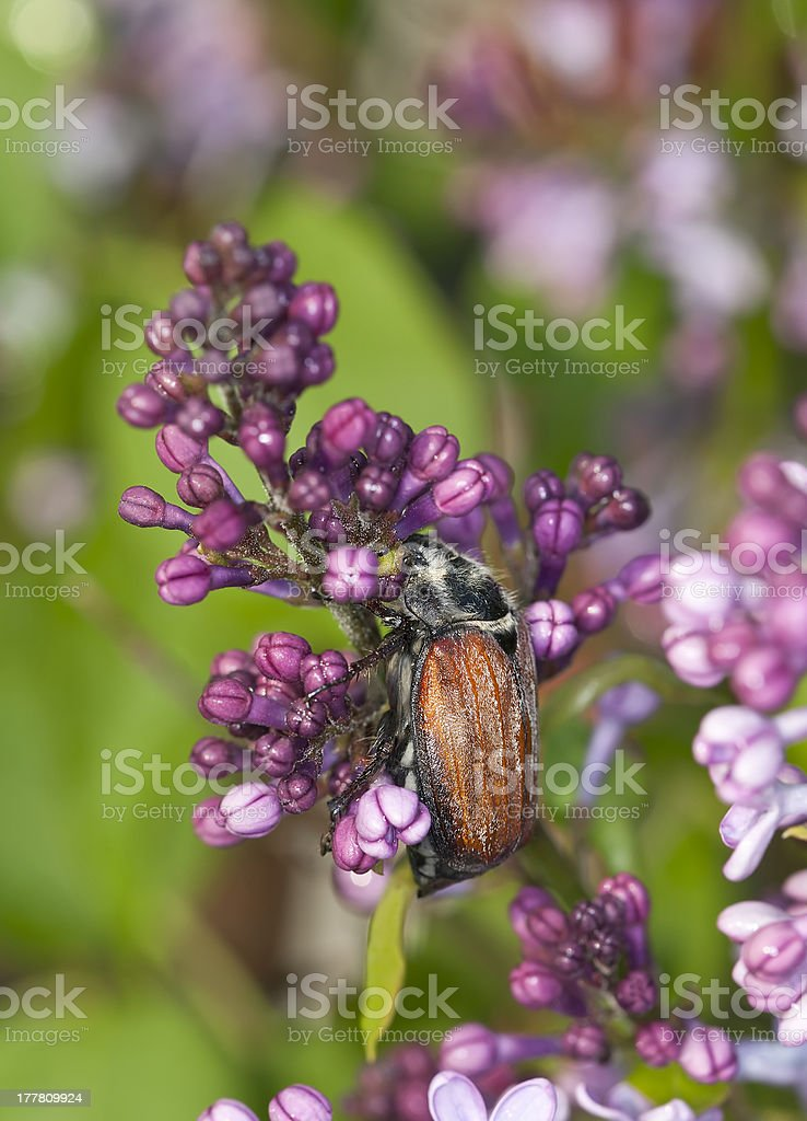 Maybug, Melolontha hippocastani on Common lilac royalty-free stock photo