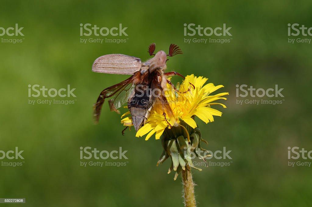 May-bug. stock photo