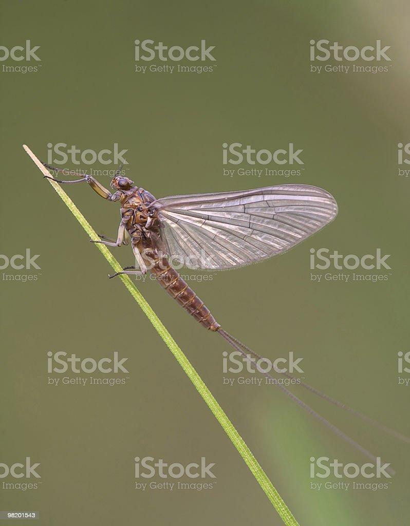 Mayflies. royalty-free stock photo