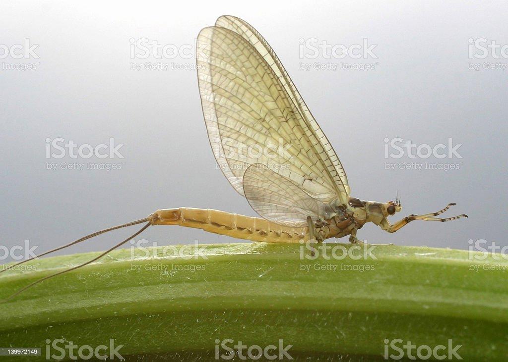 Mayfly Dun royalty-free stock photo