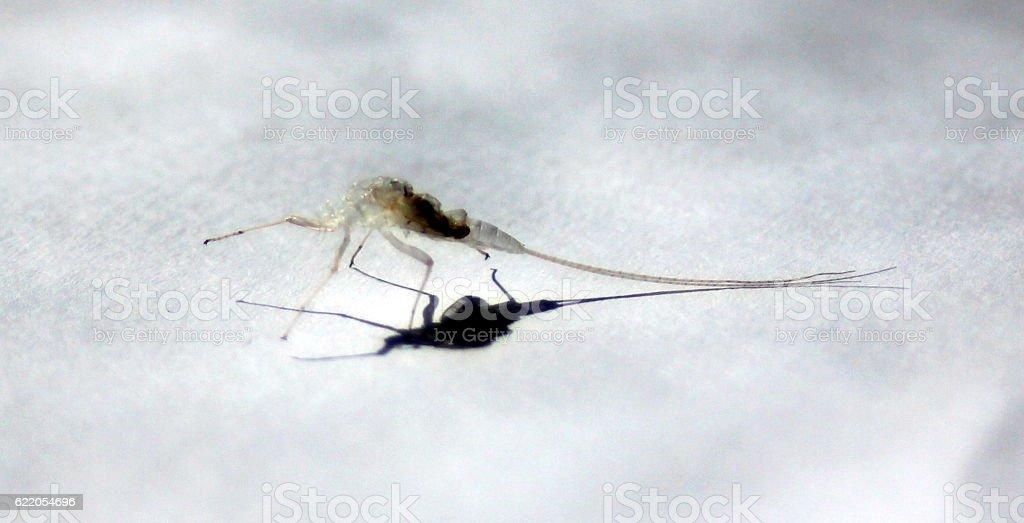 Mayfly Exoskeleton royalty-free stock photo