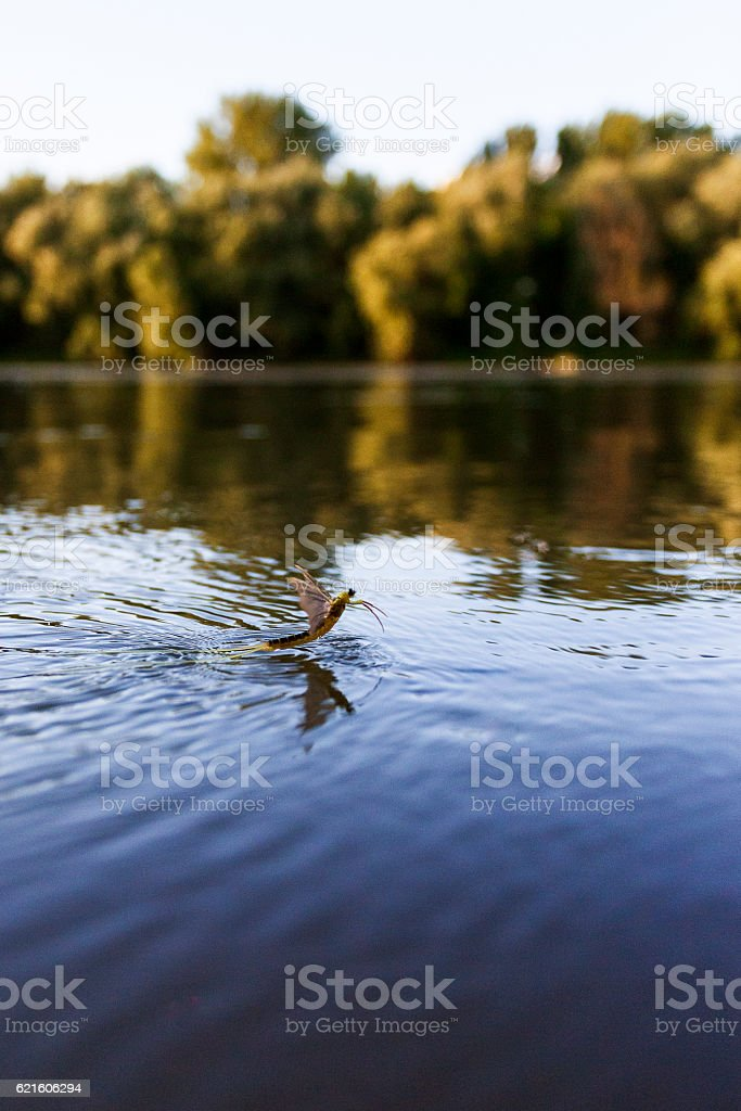Mayfly (Polingenia longicauda) in the Tisza River stock photo