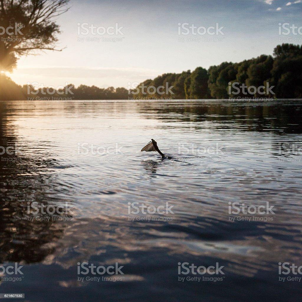 Mayfly (Polingenia longicauda) in the Tisza River stock photo